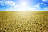 Wheat summer sun — Foto de Stock