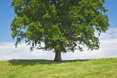 Tree green meadow — Stock Photo