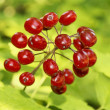 Poisonous red berries — 图库照片