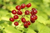ядовитые красные ягоды — Стоковое фото