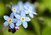 Forget-me-not blue flower — Stock Photo