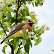 Cedar waxwing looking guilty — Stock Photo