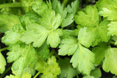 Growing parsley leaves — Stock Photo