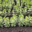 Broad bean plants - Stock Photo