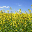 Canola plants touching the sky — Stock Photo