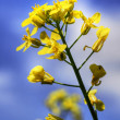 One yellow canola or rapeseed against sky - Stock Photo