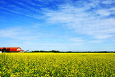 Sky, farm and canola or rapeseed field — Stock Photo