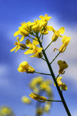 One yellow canola or rapeseed against sky — Stock Photo
