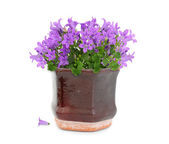 Purple flowers in pot — Stock Photo