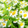 Chamomile and rays of light — Stock Photo #6108301