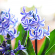 Closeup of blossoming blue hyacinth — Stok fotoğraf