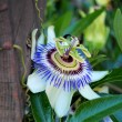 Closeup of blooming passion flower in garden — Stok fotoğraf