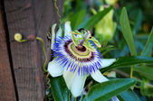 Closeup of blooming passion flower in garden — Stock Photo