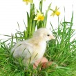 Stock Photo: Nestling on grass