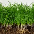 Grass from roots — Stock Photo #5888339