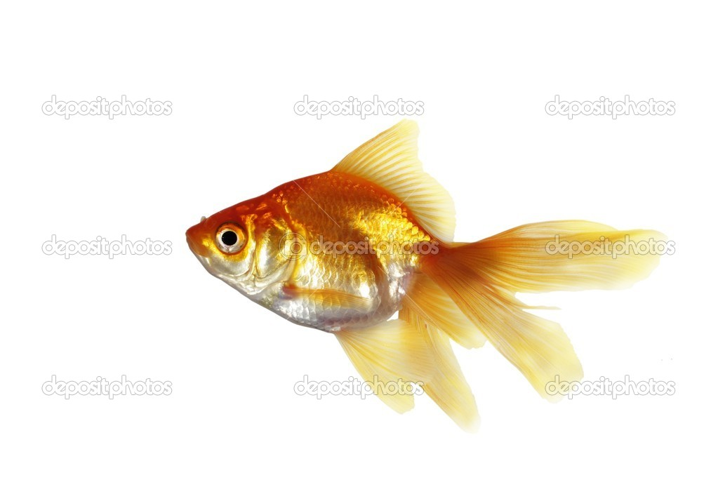Gold fish  on a white background — Stock Photo #5888302