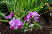 Purple Orchids in Pinestraw — Stock Photo