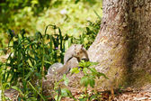 Gray Squirrel on Base of Trunk Looking at Camera — Stock Photo