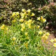 Yellow Day Lillies in a Garden — Stock Photo