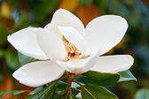 White Magnolia in Full Bloom — Stock Photo