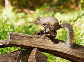 Gray Squirrel on Split Rail Fence — Stock Photo