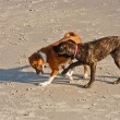 Stock Photo: Two Dogs Playing on a Beach