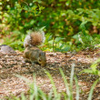 Squirrel Looking For Food in Forest — Foto Stock