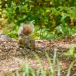 Squirrel Looking For Food in Forest — Stock fotografie