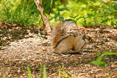 Gray Squirrel Perched on Ground — Stock Photo