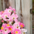 Pink Roses Against an Old Wood Fence — Stock Photo
