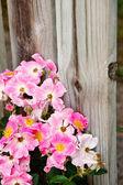 Rosa rosen gegen einen alten holz-zaun — Stockfoto