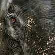 Elephant's tear - Stock Photo