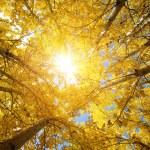 Fall Aspen Trees — Stock Photo #5853912