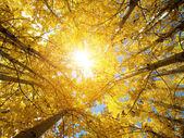 Fall Aspen Trees — Stock Photo