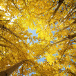 Fall Aspen Trees - Stock Photo