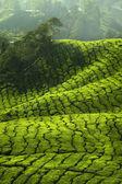Upraw herbaty — Zdjęcie stockowe