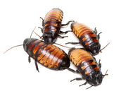 Four Madagascar cockroaches — Stock Photo