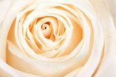 Фон из белых роз — Стоковое фото