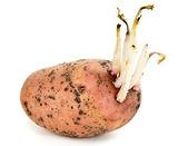 Brotos de batata — Fotografia Stock