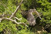 Changeable Hawk-eagle aka Crested Hawk-eagle — Stock Photo