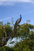 Indian Peafowl (Pavo cristatus) at Yala National park — Stock Photo
