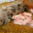Piglets sucking — Stockfoto