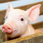 Pink pig — Stock Photo