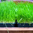 Wheat grass — Stock Photo #5666118