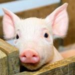 Pig baby — Stock Photo #5771838