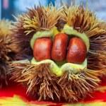 板栗 — 图库照片