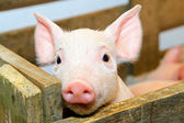 Pig baby — Stock Photo
