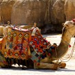 Camel lay — Stock Photo