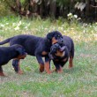 rottweiler puppies — Stock Photo