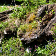 Stock Photo: Alpine tree stump